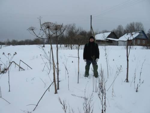 Заросли борщевика Сосновского на околице деревни Огородники